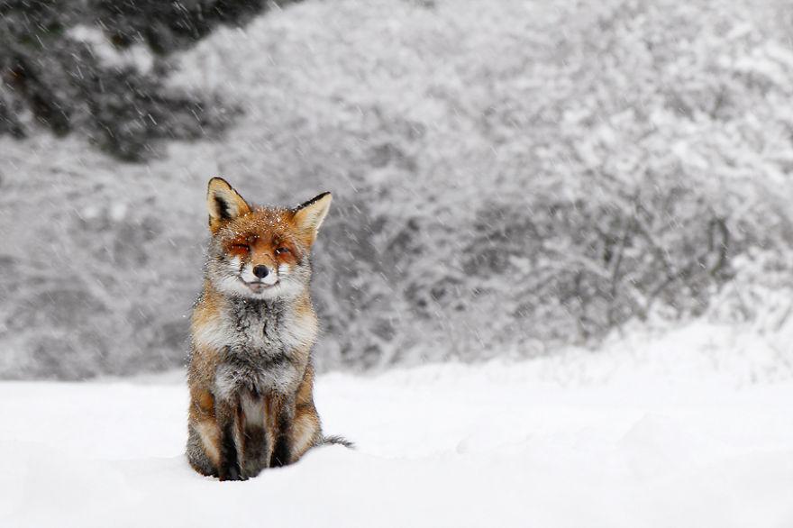 Лисы и снег