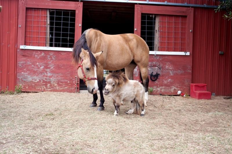 Миниатюрная пони по кличке Шэмми набирает популярность