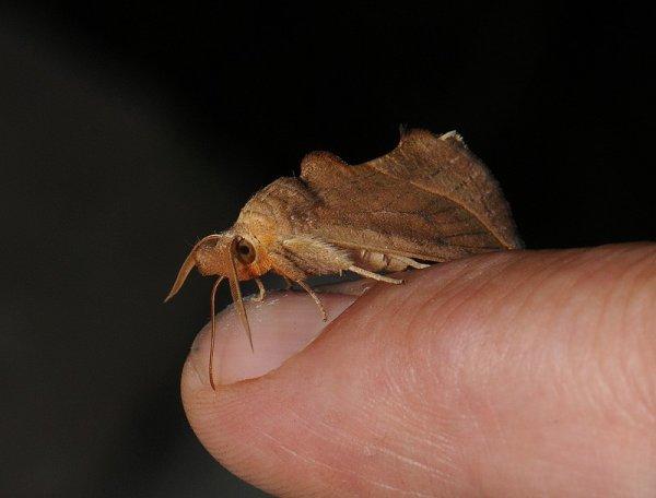 Тропические бабочки - кровососы