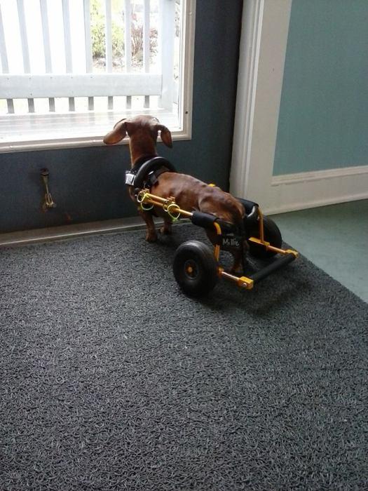 Инвалидные коляски для наших четвероногих друзей