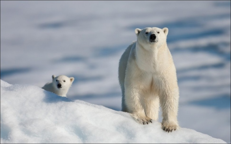 Шикарные фотографии полярных медведей