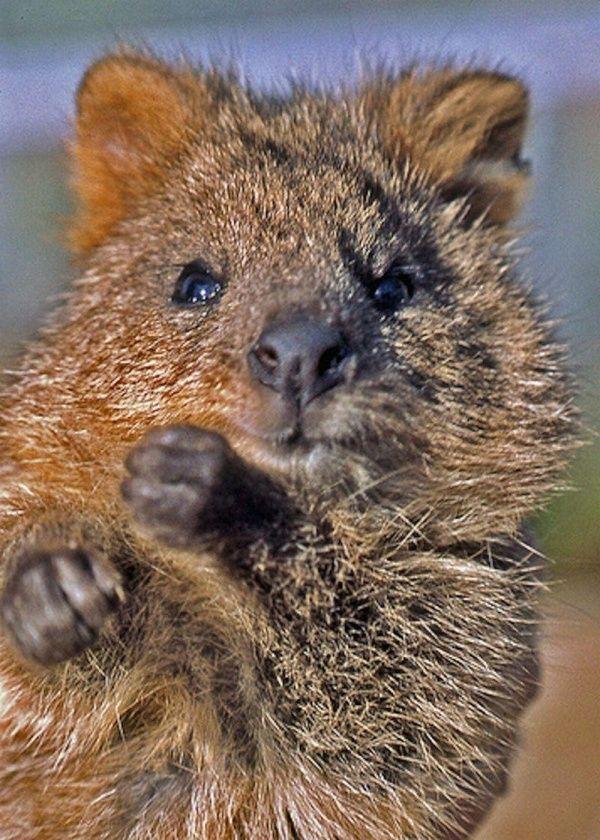 Короткохвостый кенгуру квокка всегда выглядит довольным