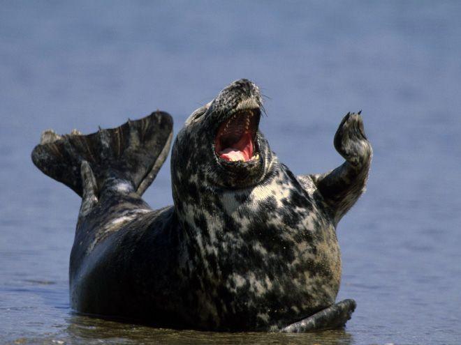 Морские котики и тюлени любят улыбаться