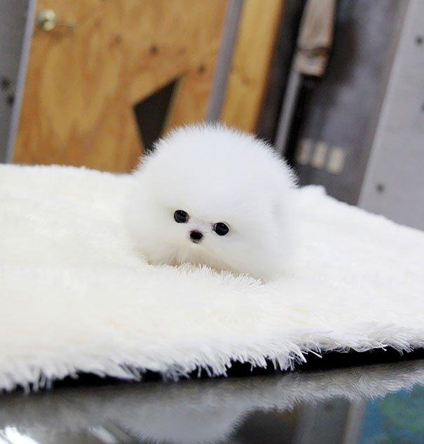Щенки похожие на плюшевых мишек