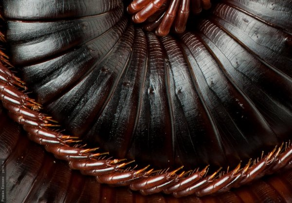 Гигантский кивсяк - африканская многоножка