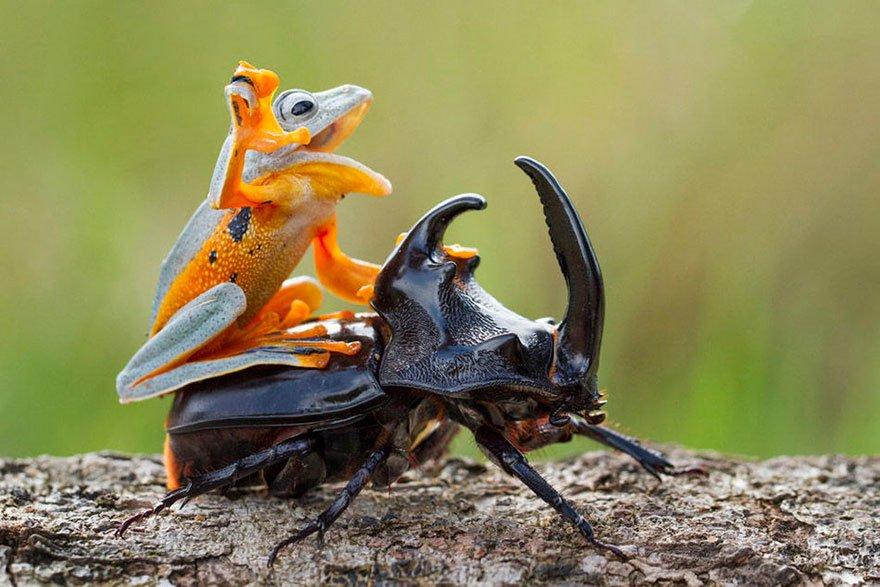 Лягушка проехалась верхом на жуке