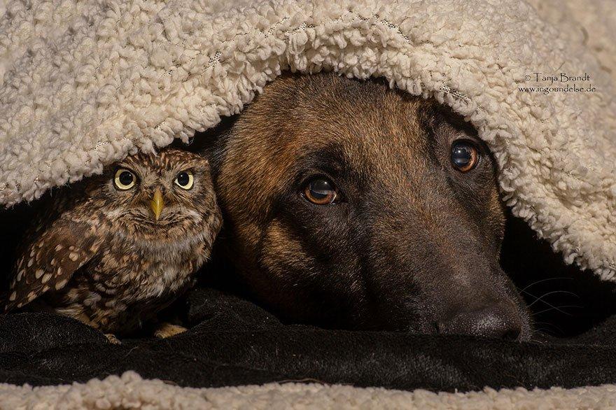 Необычная дружба овчарки и совы