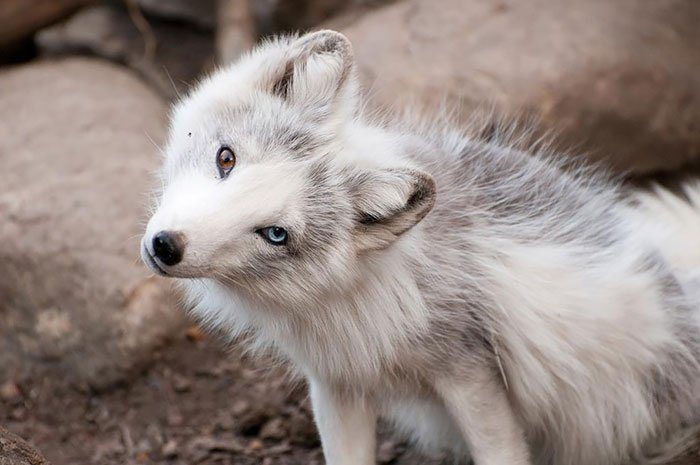 Животные с разноцветными глазами