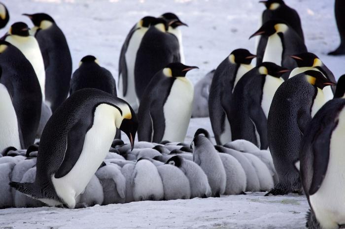 Как императорские пингвины согревают своих пингвинят