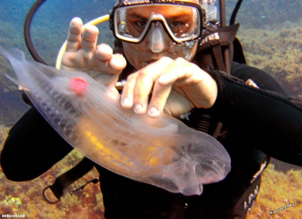 Сальпа - прозрачная рыба