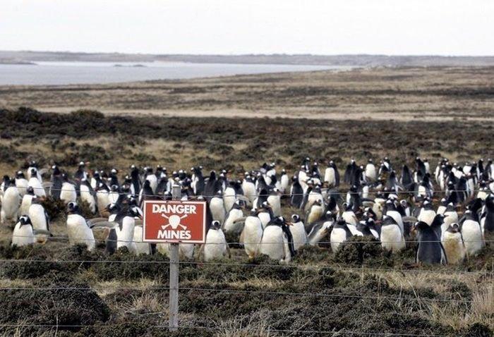 Заминированное побережье стало домом для пингвинов
