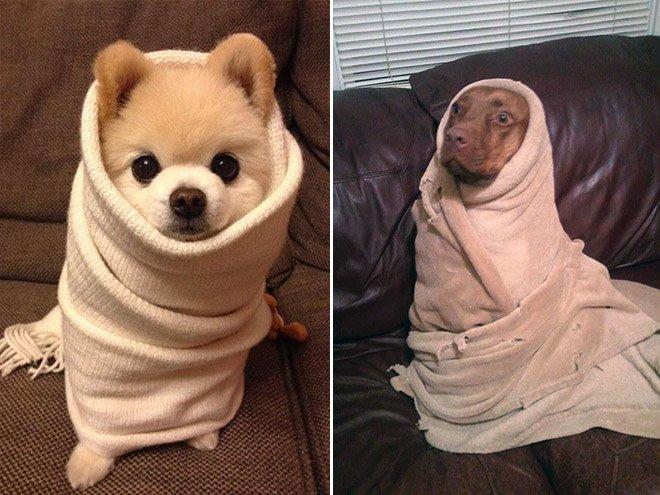 Собаки, завёрнутые в простынки и полотенца