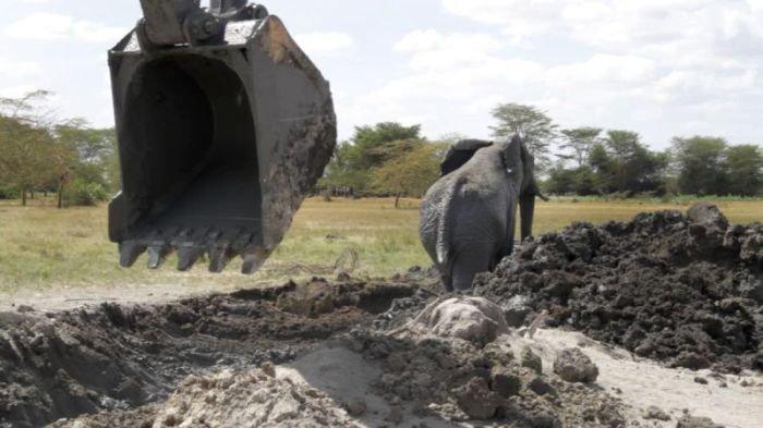 Экскаватор помог спасти слона из навозной ямы