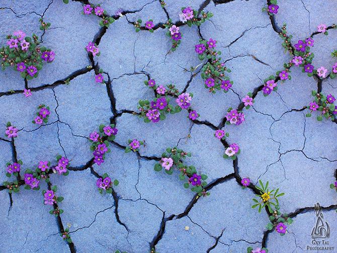 Цветущая пустыня Анза-Боррего
