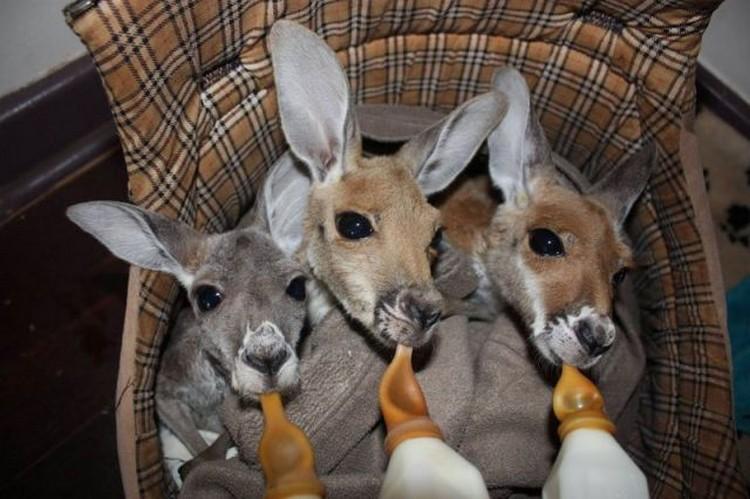Приют для осиротевших кенгурят
