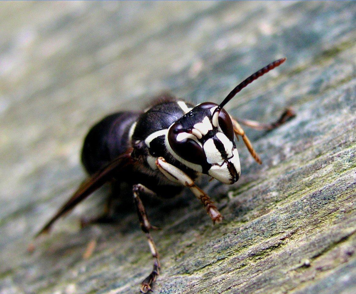 10 насекомых с самыми болезненными укусами