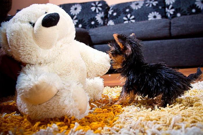 Миниатюрный маленький щенок терьера