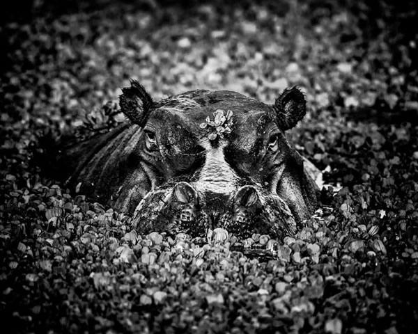 Животные Африки в черно-белых фотографиях Лорана Баху