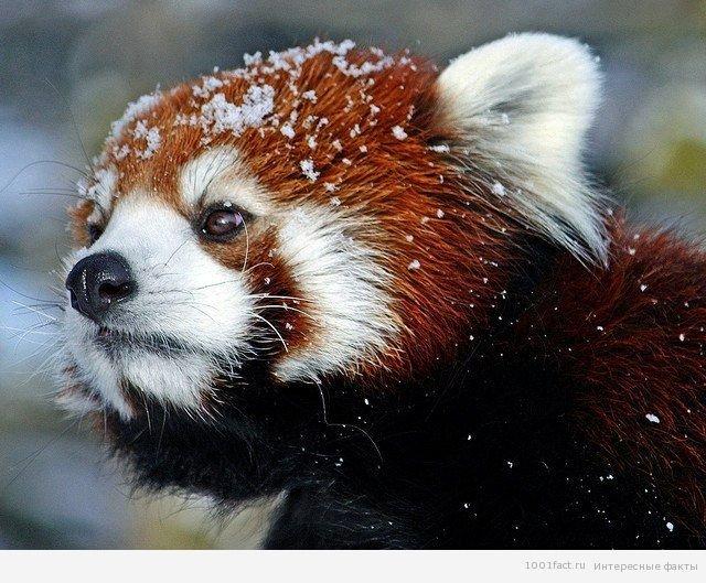 Интересные факты о пандах