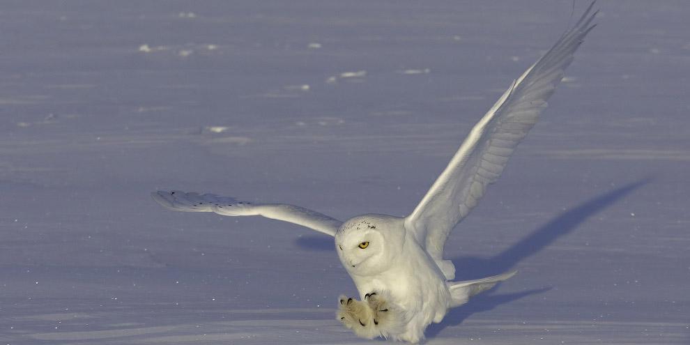 шансов соперникам белая сова севера при приземлении фото амулетами, люди