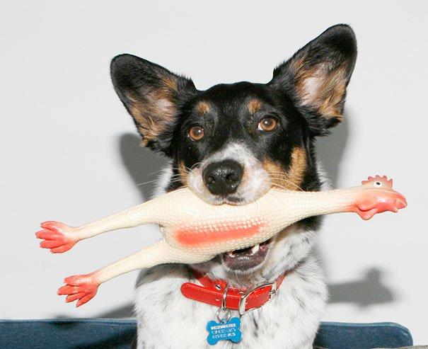 Смешные собаки с игрушками в зубах