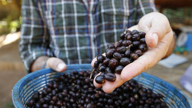 Около 50-ти долларов за чашку кофе Black Ivory