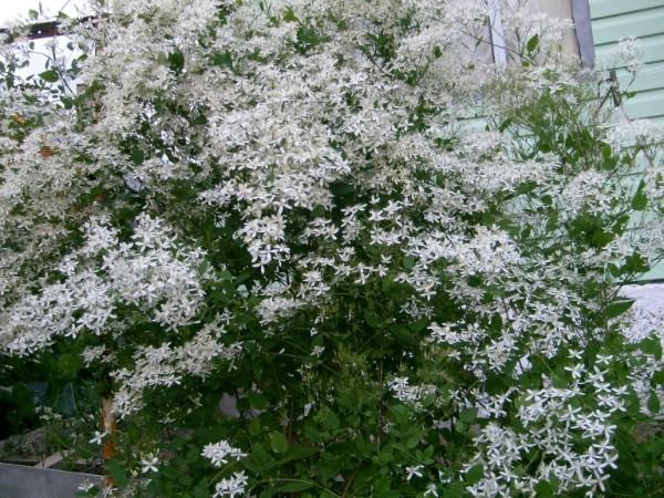 Вьющиеся растения для вертикального озеленения зданий