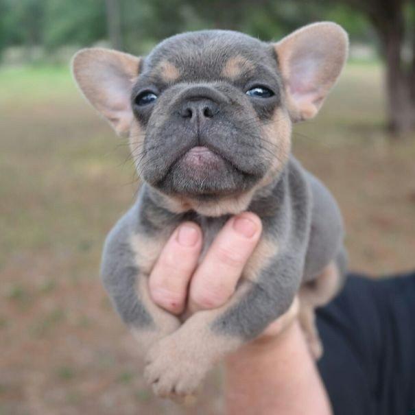 Милые щенки бульдога дарят позитив