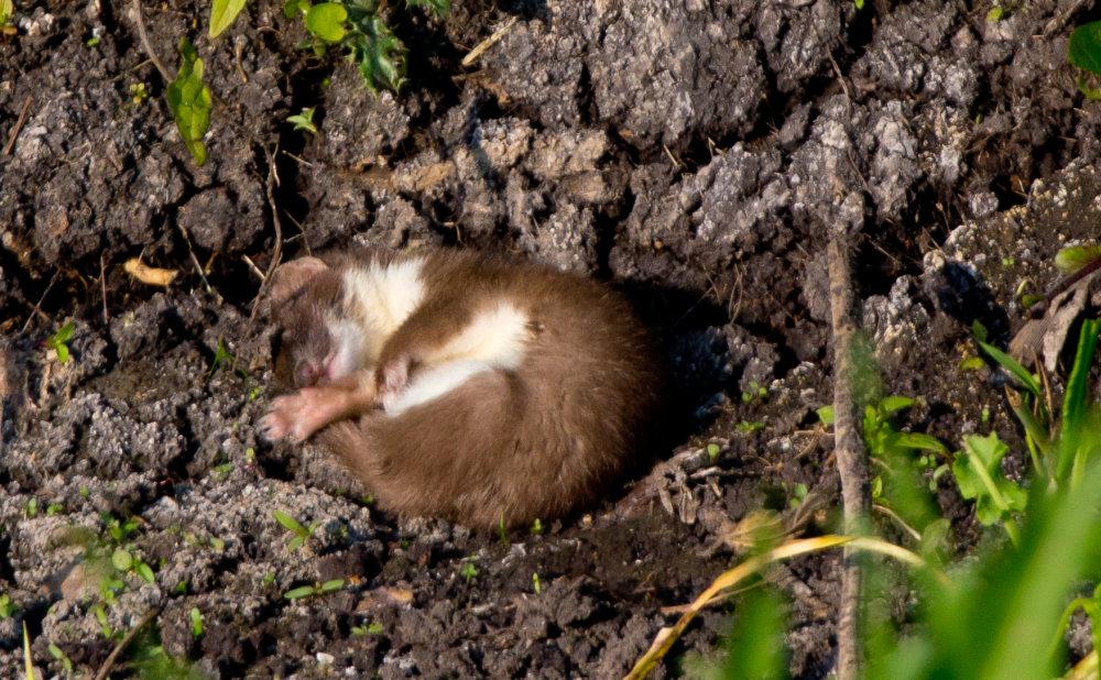Маленькое, юркое, хищное животное горностай