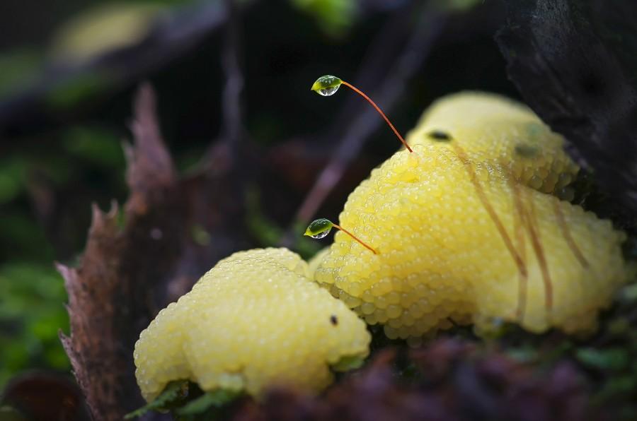 Незаметные жители леса - слизевики