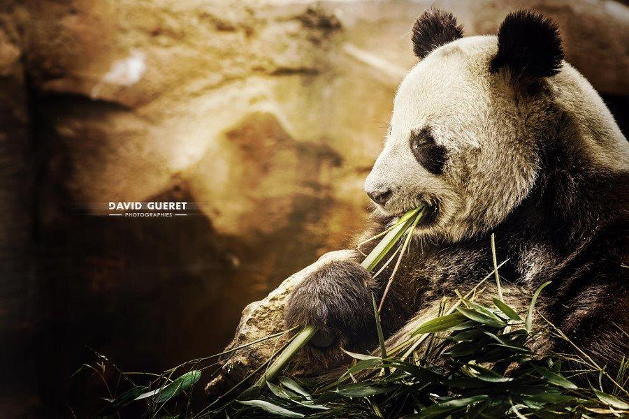 Скучающие, задумчивые, забавные и милые панды