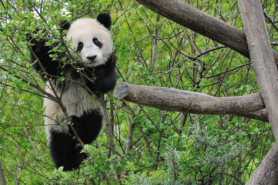 Новогодней, картинки прикольных панды