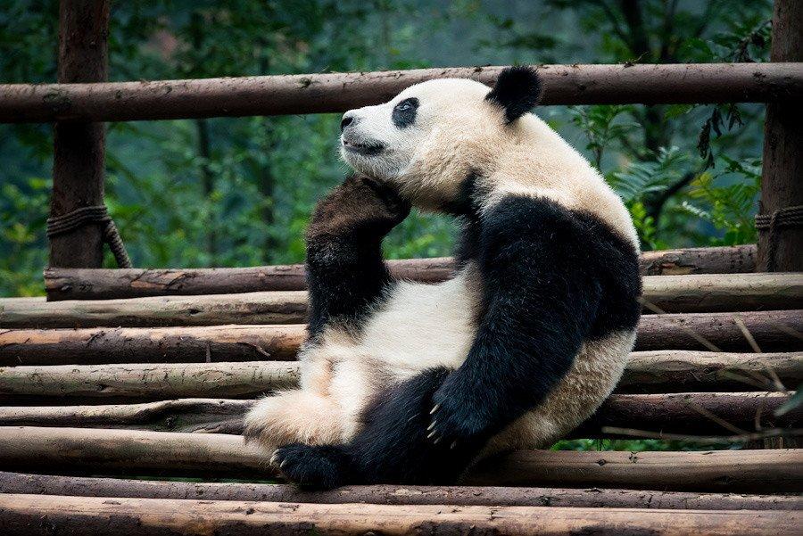 Панда картинки приколы, открыток