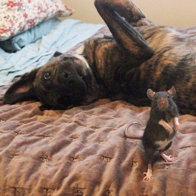 Необычные друзья: овчарка Осирис и крыса Рифф