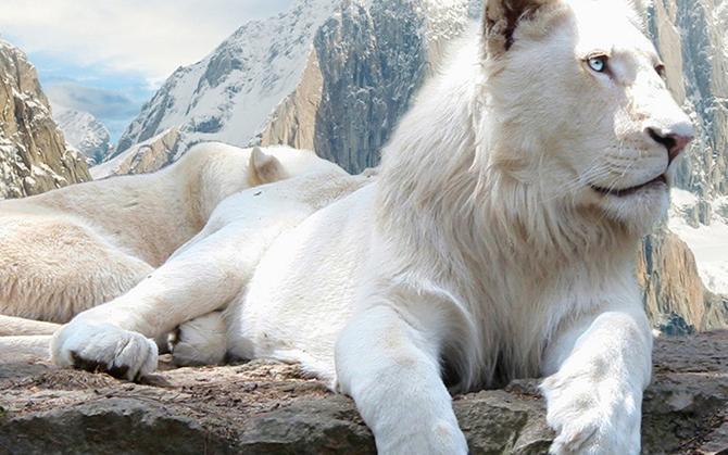 Удивительные факты о белых львах