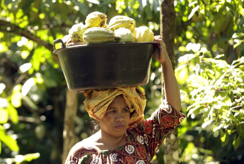 Плантации какао в Южном Сулавеси