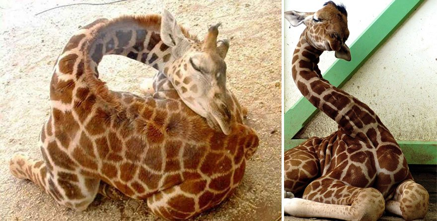 Фотографии со спящими жирафами