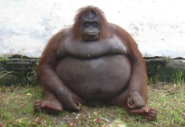 Некоторым животным не помешает похудеть