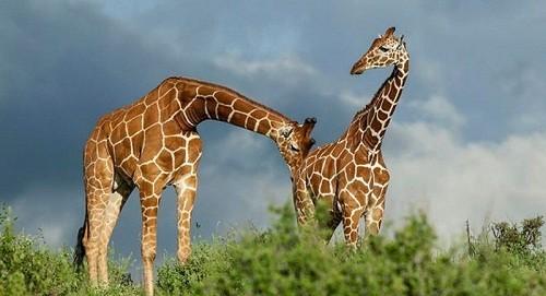 Необычные брачные ритуалы животного мира