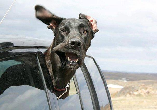 Собаки любят прокатиться с ветерком