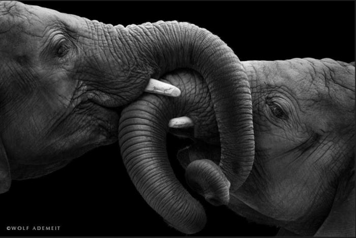 О слоновьей любви от фотографа Вольфа Адемайта