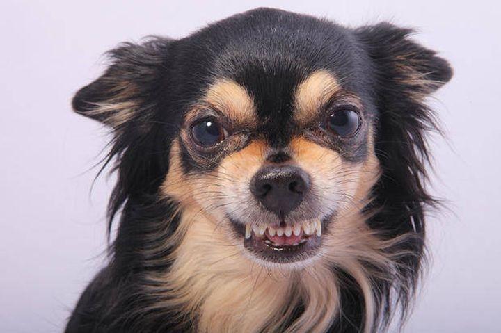 10 интересных фактов о собаках породы чихуахуа