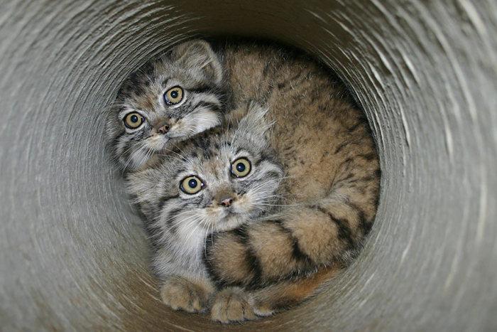 Дикие и милые коты - манулы