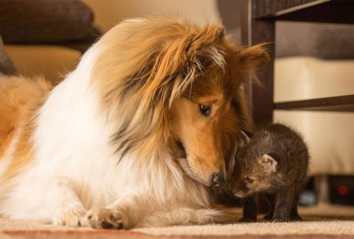 Дружба собаки и лисенка