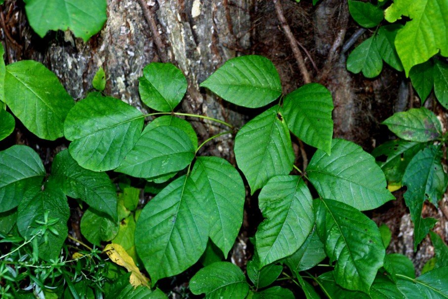 10 ядовитых растений, которые выглядят съедобными