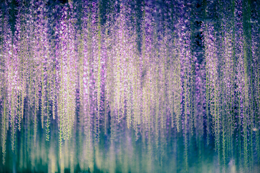 Природная красота глициний