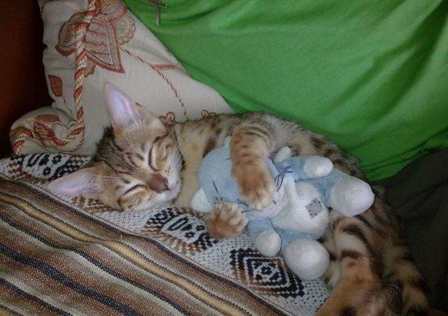 Котику приятнее засыпать с плюшевой игрушкой