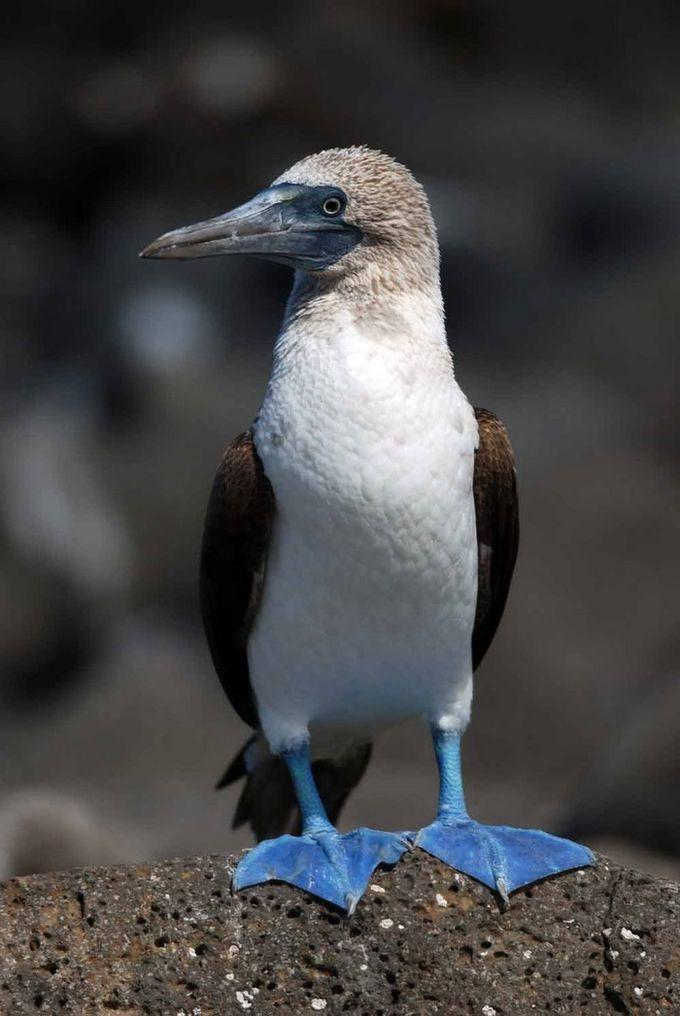 Самая забавная птица нашей планеты — Голубоногая олуша