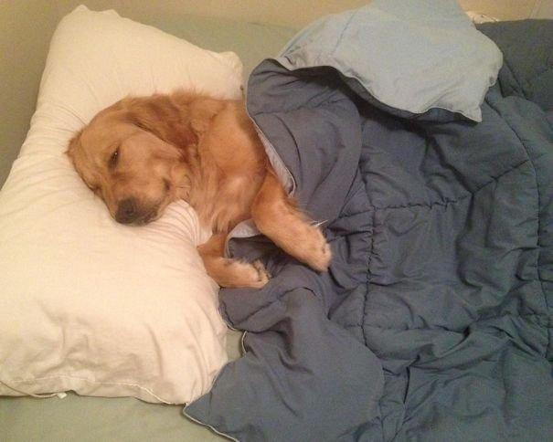 Собаки спят на хозяйской кровати