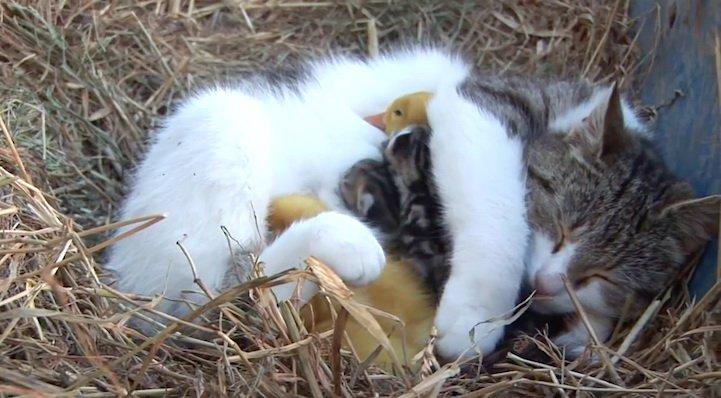 Кошка стала мамой для утят